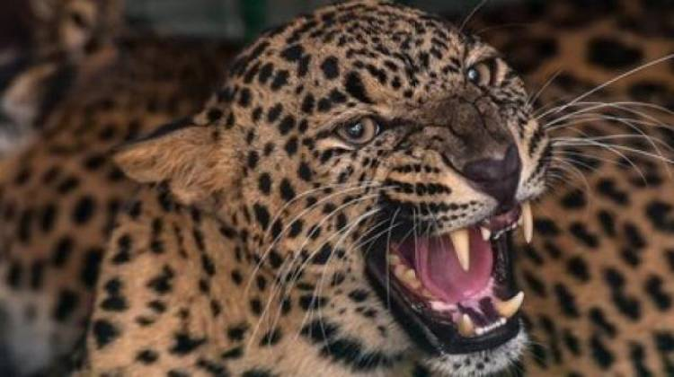 4 injured in Maharashtra leopard attack