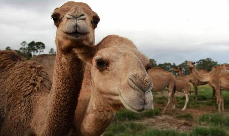 Australia to cull up to 10,000 camels amid bushfires