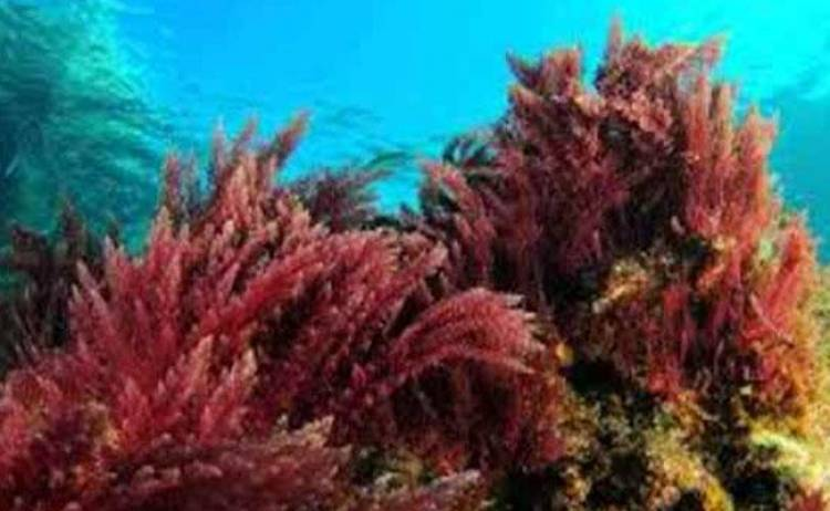 Marine red algae may hold key to preventing spread of COVID-19: Reliance researchers